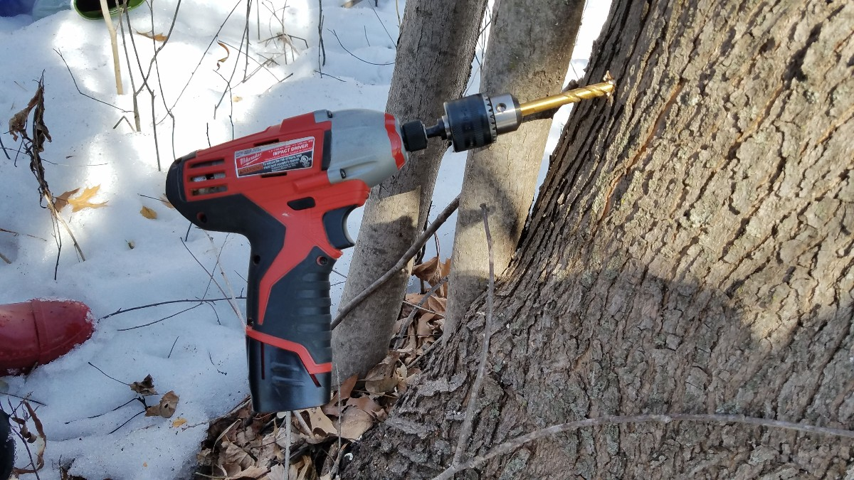 002-drill-hole-in-maple-tree
