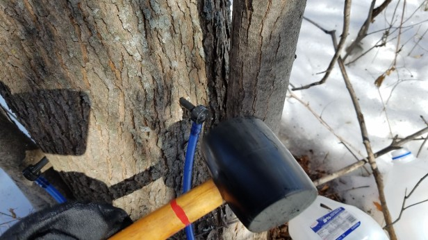 006-tap-in-spile-rubber-mallet-maple-tree