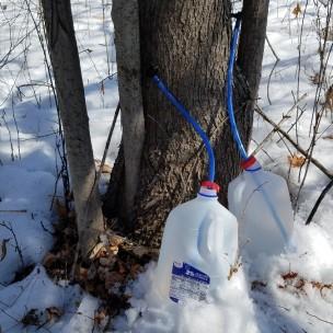 010-maple-sap-spiles-jugs-snow