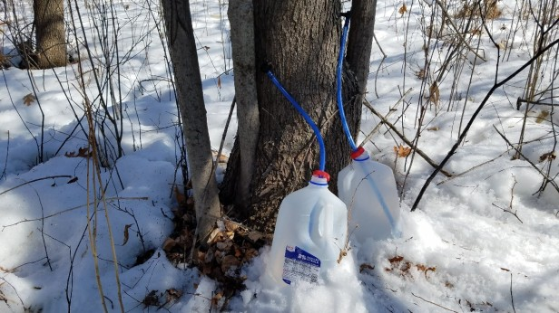 010-maple-sap-spiles-jugs-snow
