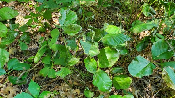Poison-Ivy-Wilting-24hrs