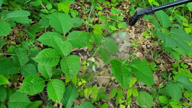 Spraying-Lush-Poison-Ivy